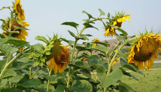 Stop and smell the… Sunflowers?