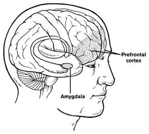 amygdala prefrontal cortex
